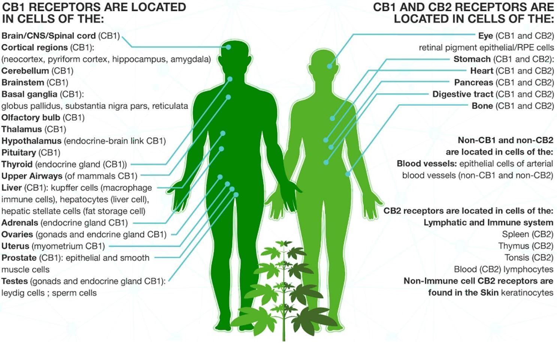 Endocannabinoid system 1